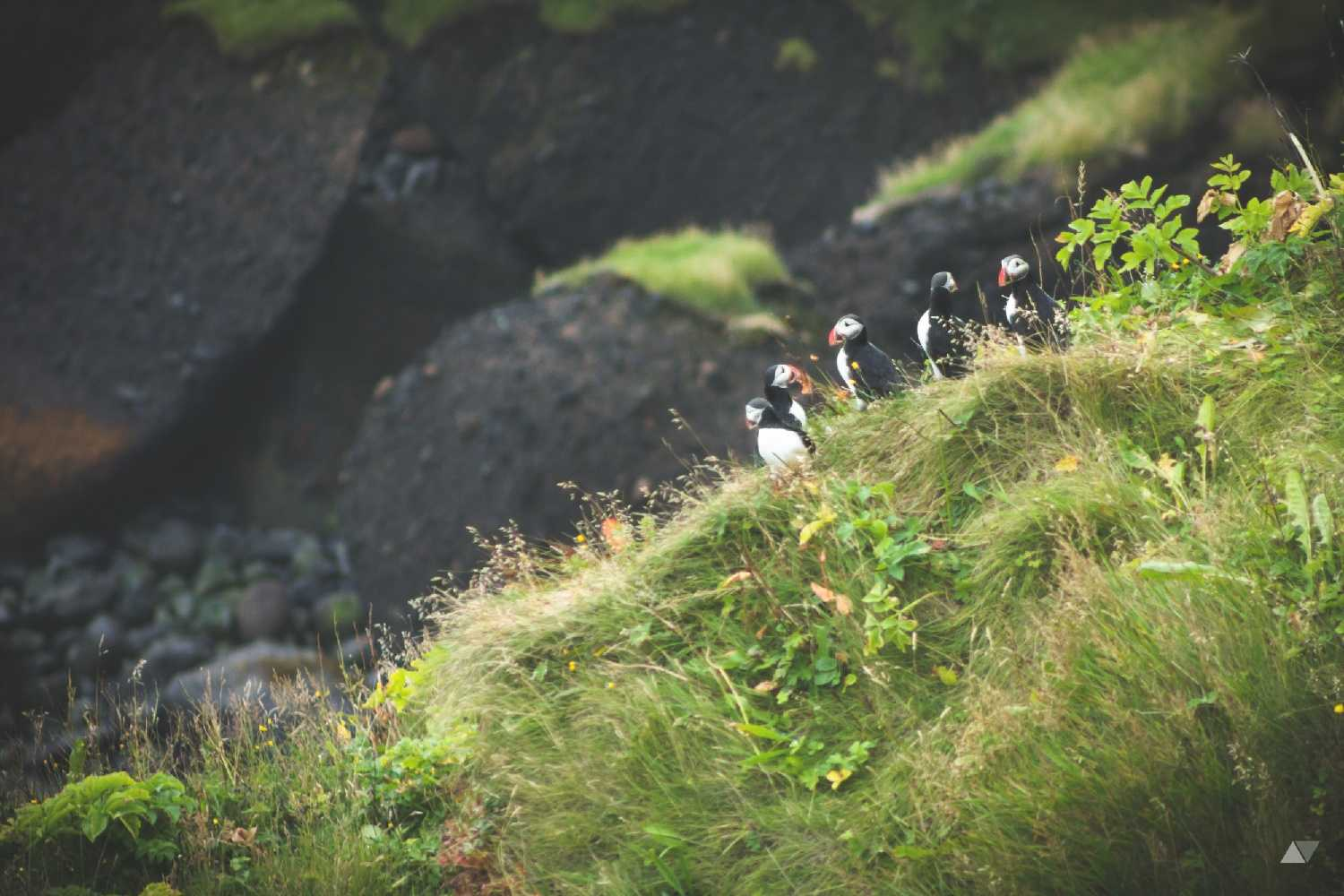 Puffins in Vik, Iceland